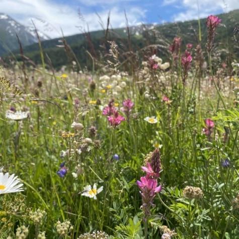 Alpenwiese Eischoll im Frühling