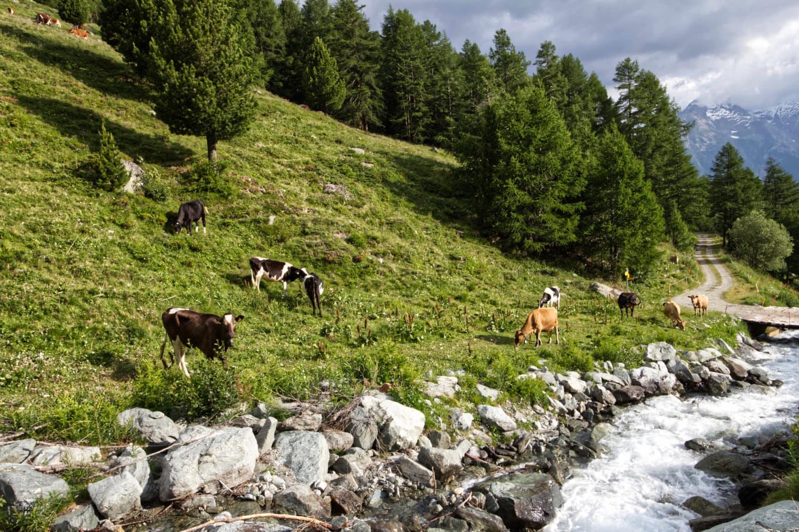 Alpe mit Kühen